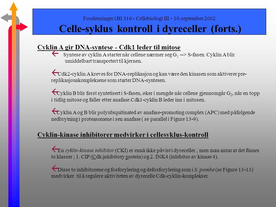 Cyklin A gir DNA-syntese - Cdk1 leder til mitose
