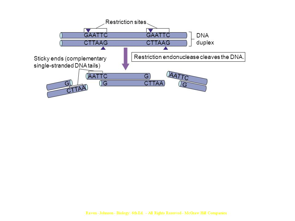 Restriction endonuclease cleaves the DNA. Sticky ends (complementary
