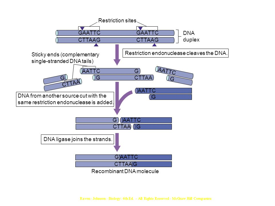 Recombinant DNA molecule G AATTC CTTAA G DNA ligase joins the strands.