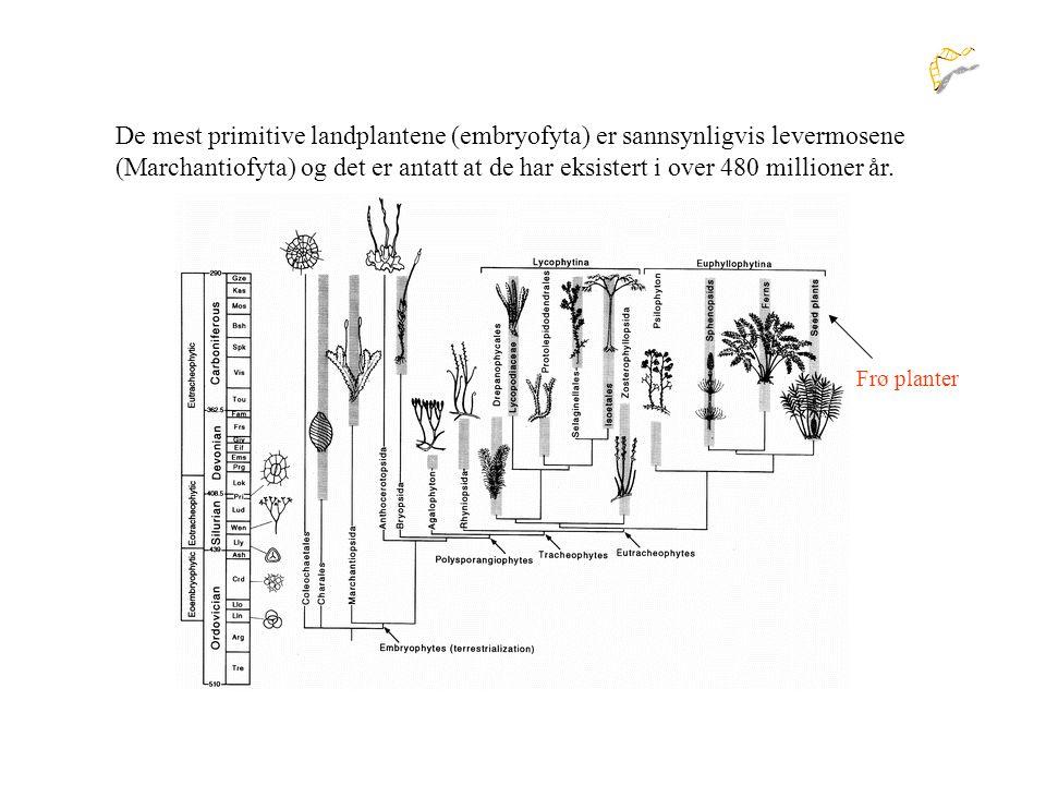 De mest primitive landplantene (embryofyta) er sannsynligvis levermosene