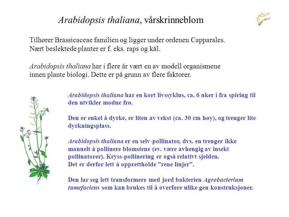 Arabidopsis thaliana, vårskrinneblom