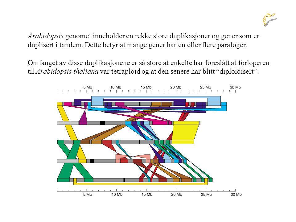Arabidopsis genomet inneholder en rekke store duplikasjoner og gener som er