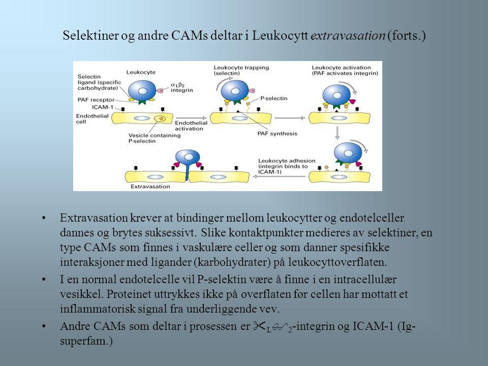 Selektiner og andre CAMs deltar i Leukocytt extravasation (forts.)