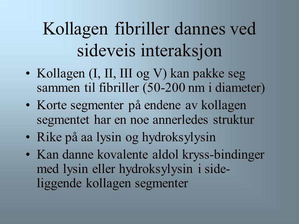 Kollagen fibriller dannes ved sideveis interaksjon