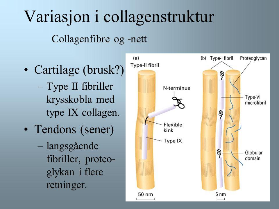 Variasjon i collagenstruktur Collagenfibre og -nett