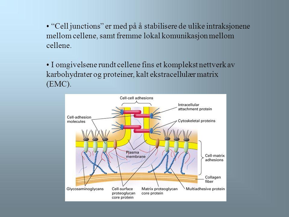 Cell junctions er med på å stabilisere de ulike intraksjonene mellom cellene, samt fremme lokal komunikasjon mellom cellene.
