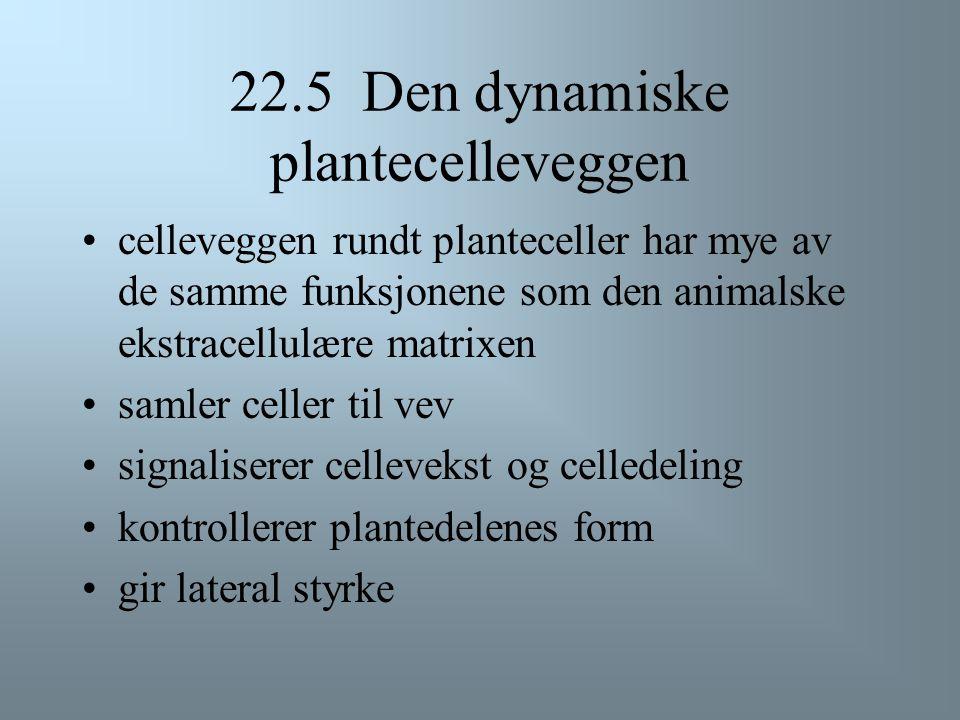 22.5 Den dynamiske plantecelleveggen
