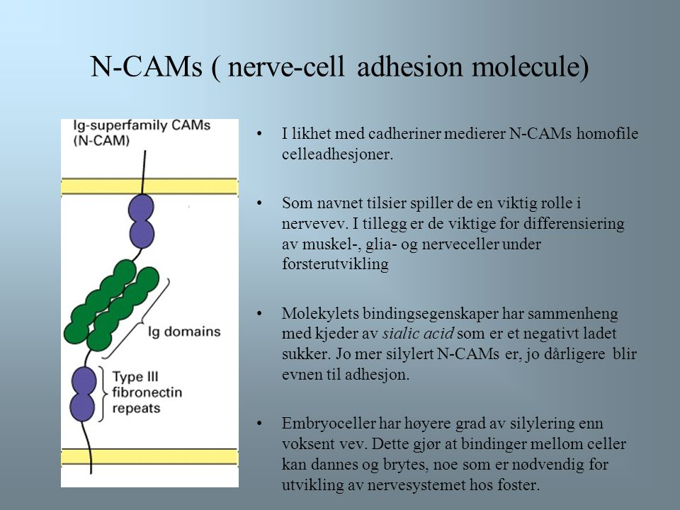 N-CAMs ( nerve-cell adhesion molecule)
