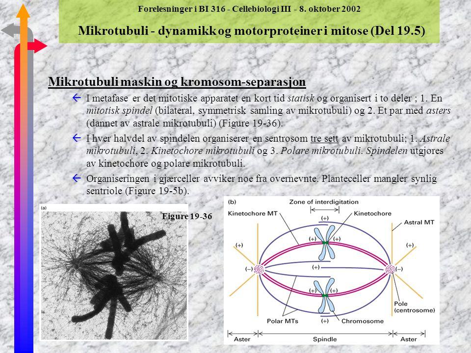Mikrotubuli maskin og kromosom-separasjon