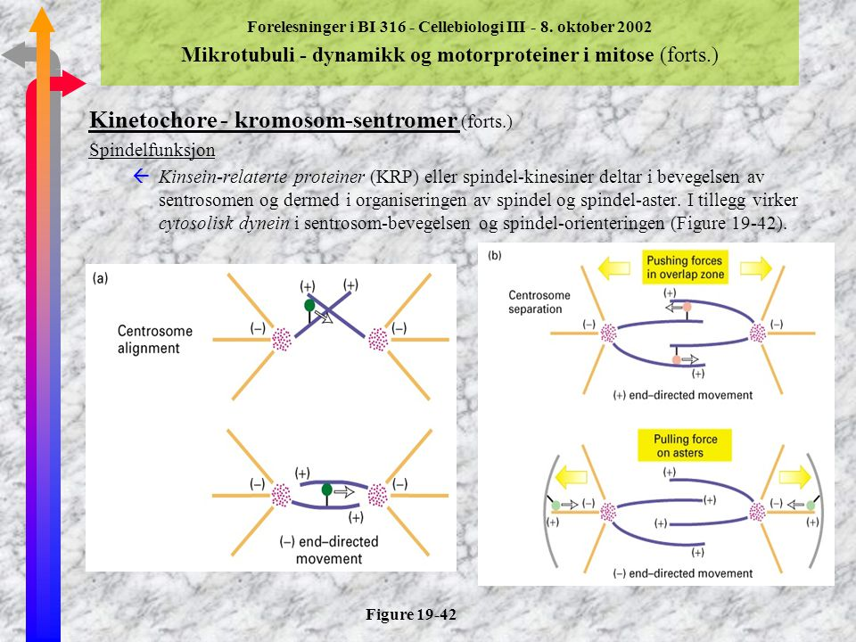 Kinetochore - kromosom-sentromer (forts.)