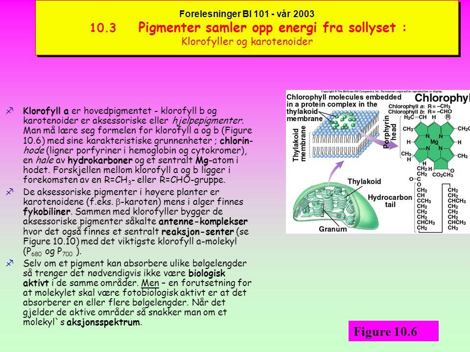 Forelesninger BI 101 - vår 2003 10.3 Pigmenter samler opp energi fra sollyset : Klorofyller og karotenoider