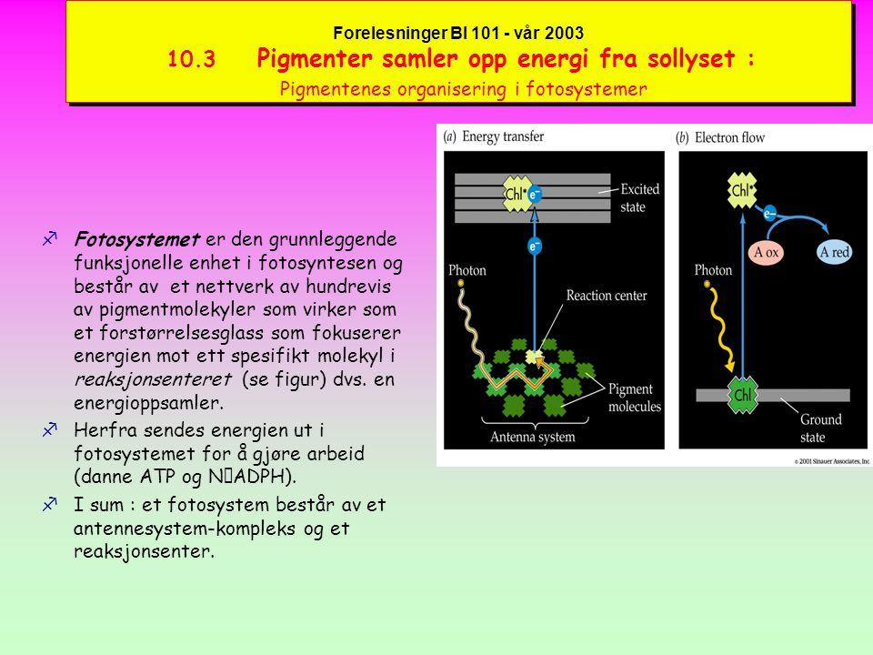 Forelesninger BI 101 - vår 2003 10.3 Pigmenter samler opp energi fra sollyset : Pigmentenes organisering i fotosystemer