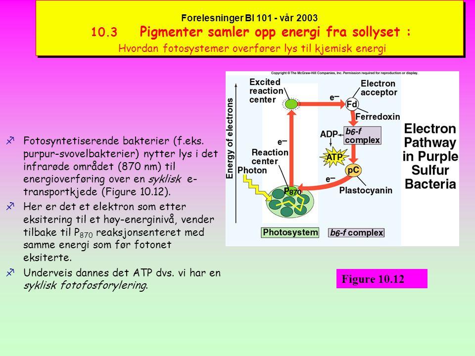 Forelesninger BI 101 - vår 2003 10.3 Pigmenter samler opp energi fra sollyset : Hvordan fotosystemer overfører lys til kjemisk energi