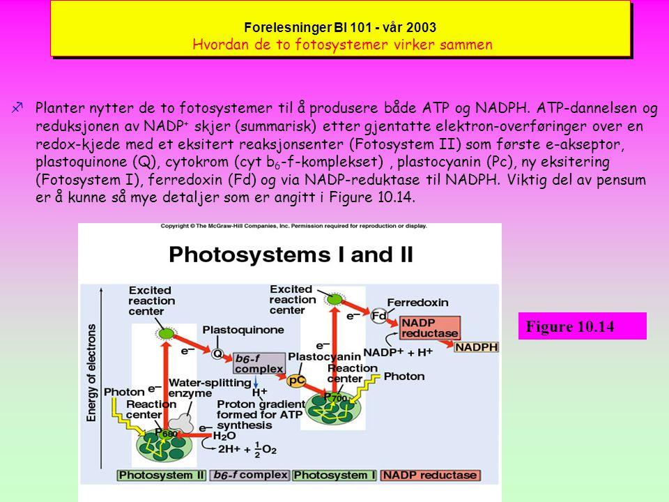 Forelesninger BI 101 - vår 2003 Hvordan de to fotosystemer virker sammen