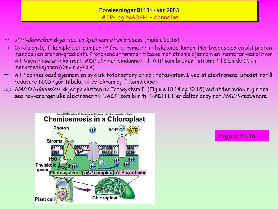 Forelesninger BI 101 - vår 2003 ATP- og NADPH - dannelse