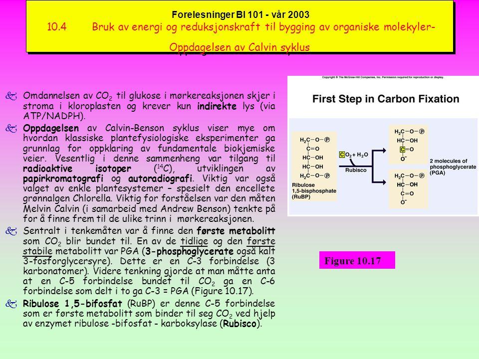 Forelesninger BI 101 - vår 2003 10.4 Bruk av energi og reduksjonskraft til bygging av organiske molekyler- Oppdagelsen av Calvin syklus