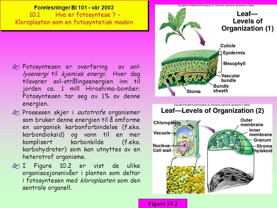 Forelesninger BI 101 - vår 2003 10. 1. Hva er fotosyntese