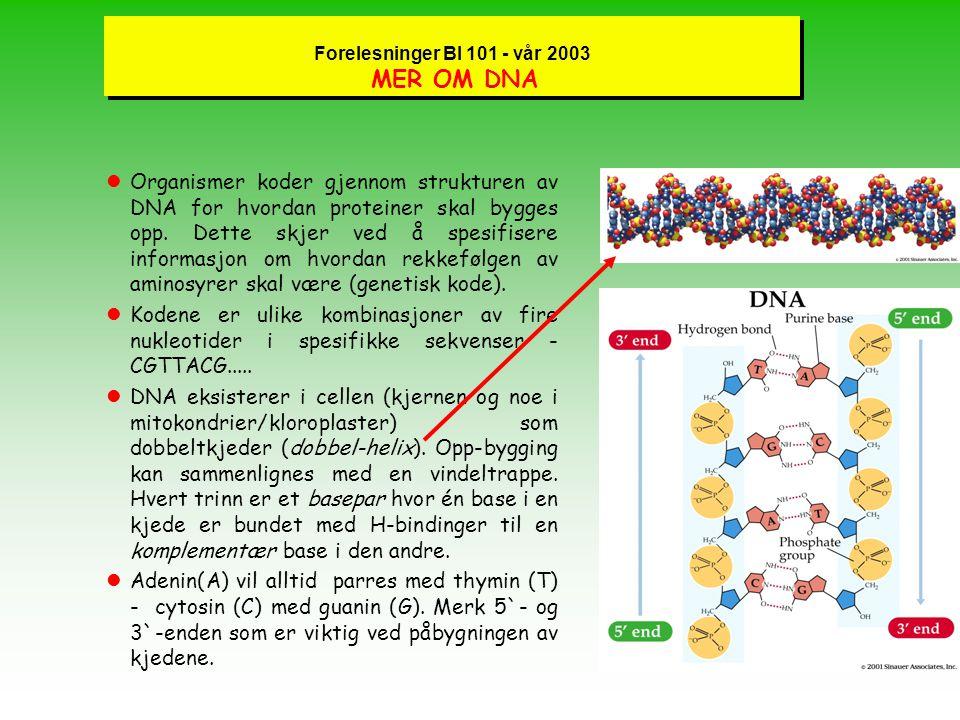 Forelesninger BI 101 - vår 2003 MER OM DNA