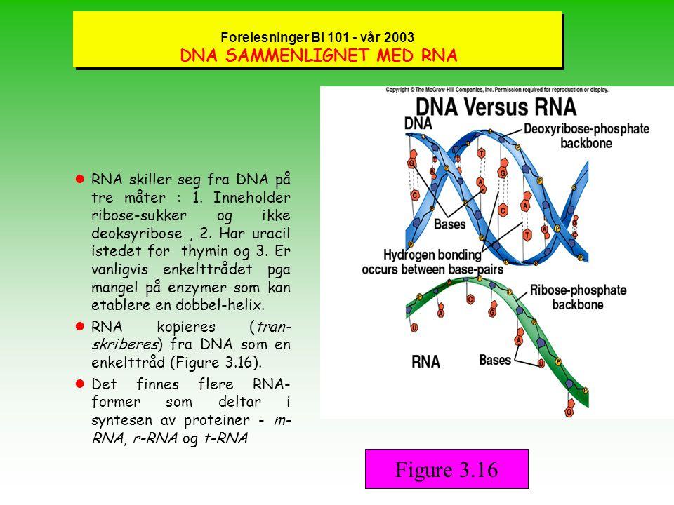 Forelesninger BI 101 - vår 2003 DNA SAMMENLIGNET MED RNA