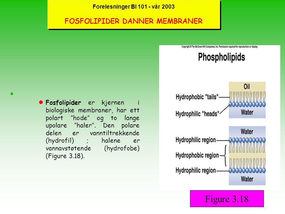 Forelesninger BI 101 - vår 2003 FOSFOLIPIDER DANNER MEMBRANER