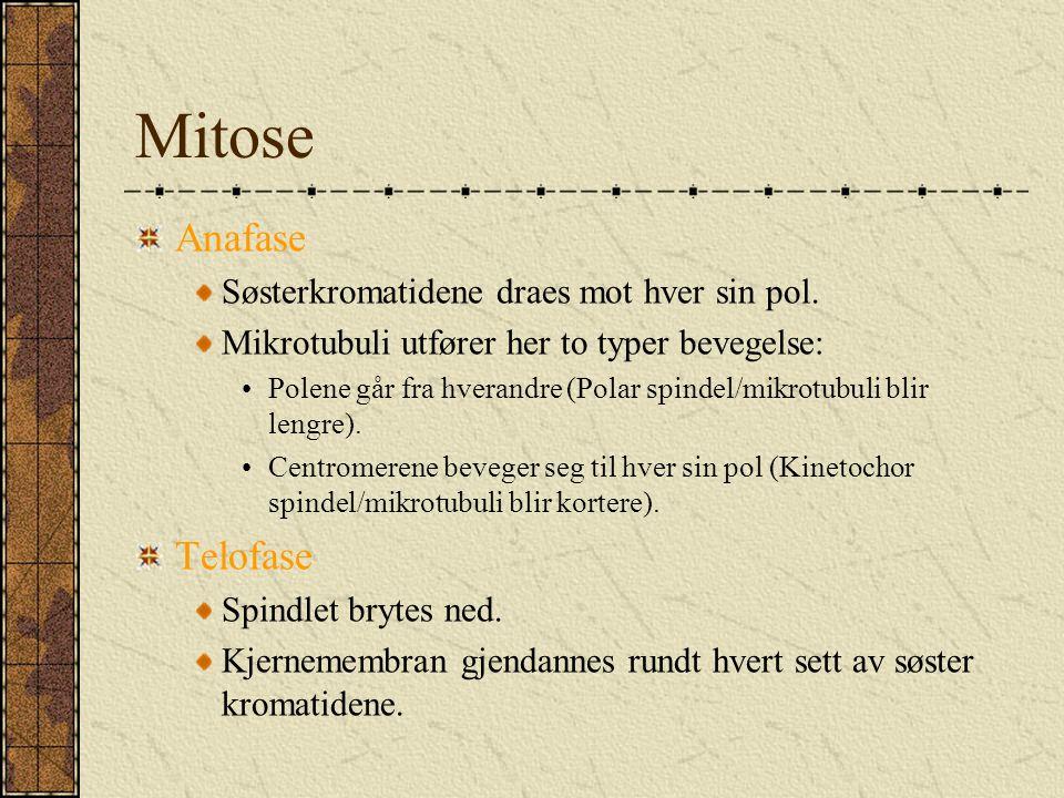 Mitose Anafase Telofase Søsterkromatidene draes mot hver sin pol.