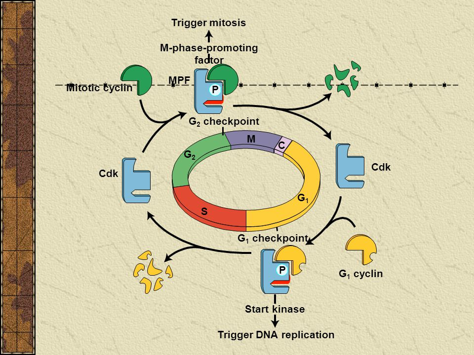 M-phase-promoting factor Trigger DNA replication