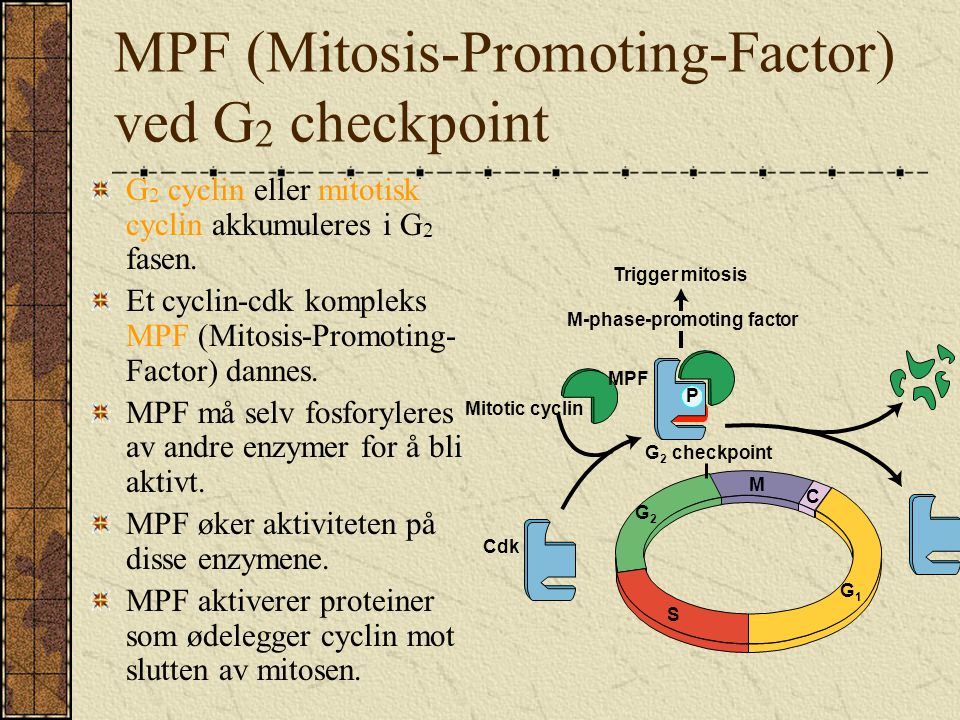 MPF (Mitosis-Promoting-Factor) ved G2 checkpoint