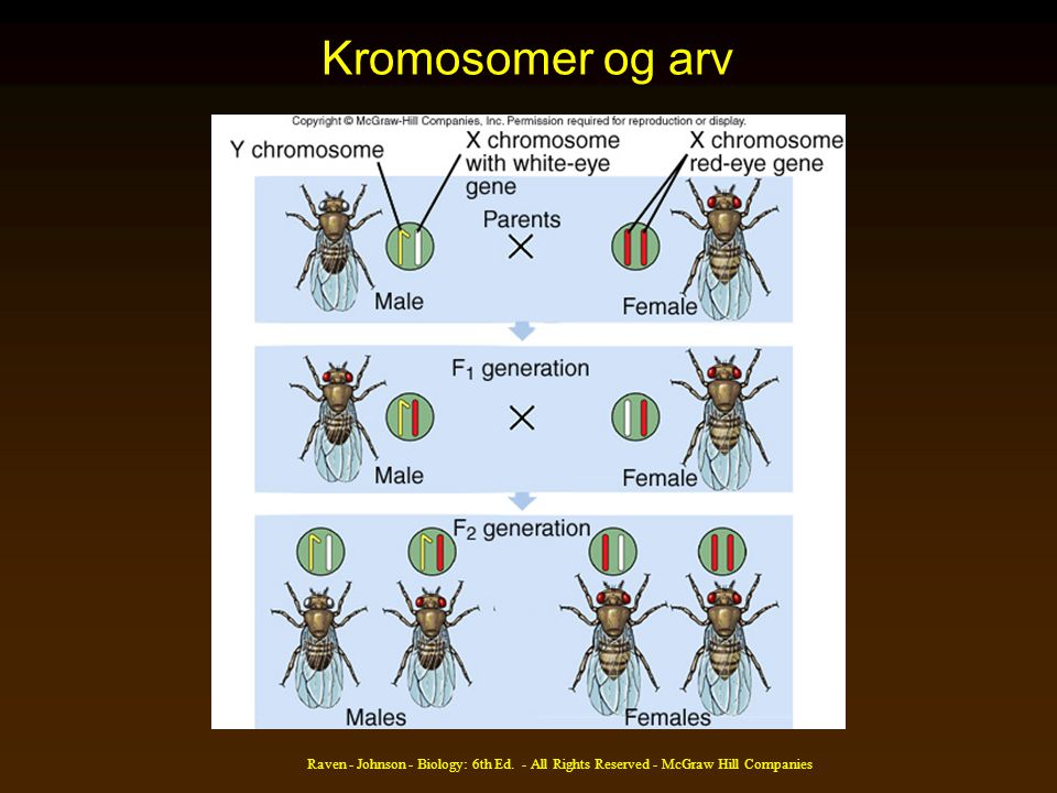 Kromosomer og arv Raven - Johnson - Biology: 6th Ed. - All Rights Reserved - McGraw Hill Companies