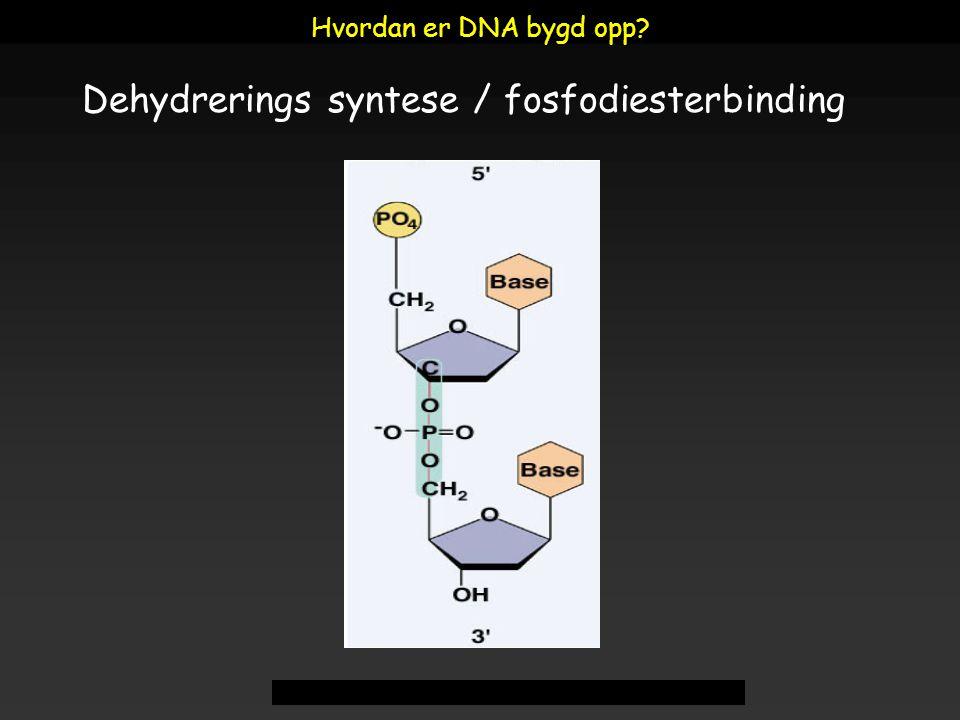 Dehydrerings syntese / fosfodiesterbinding