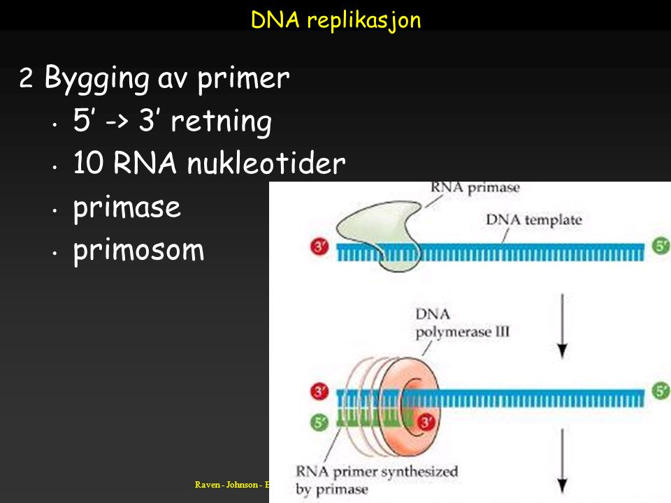 Bygging av primer 5' -> 3' retning 10 RNA nukleotider primase