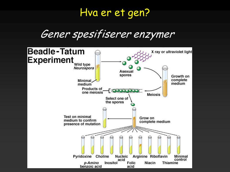 Gener spesifiserer enzymer