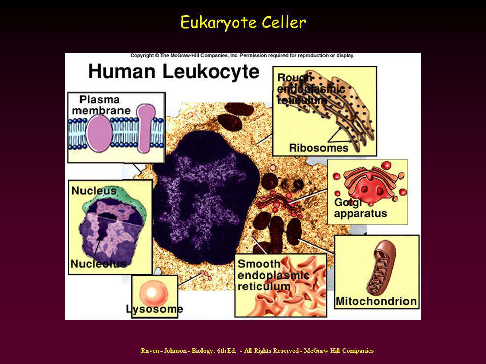 Eukaryote Celler Raven - Johnson - Biology: 6th Ed. - All Rights Reserved - McGraw Hill Companies