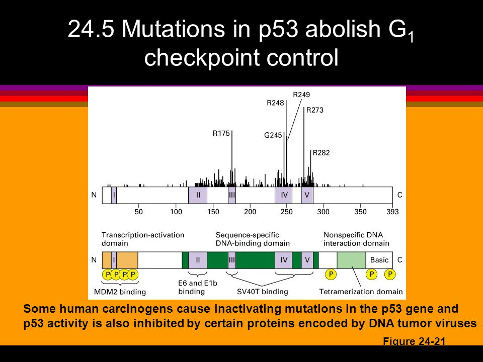 24.5 Mutations in p53 abolish G1 checkpoint control