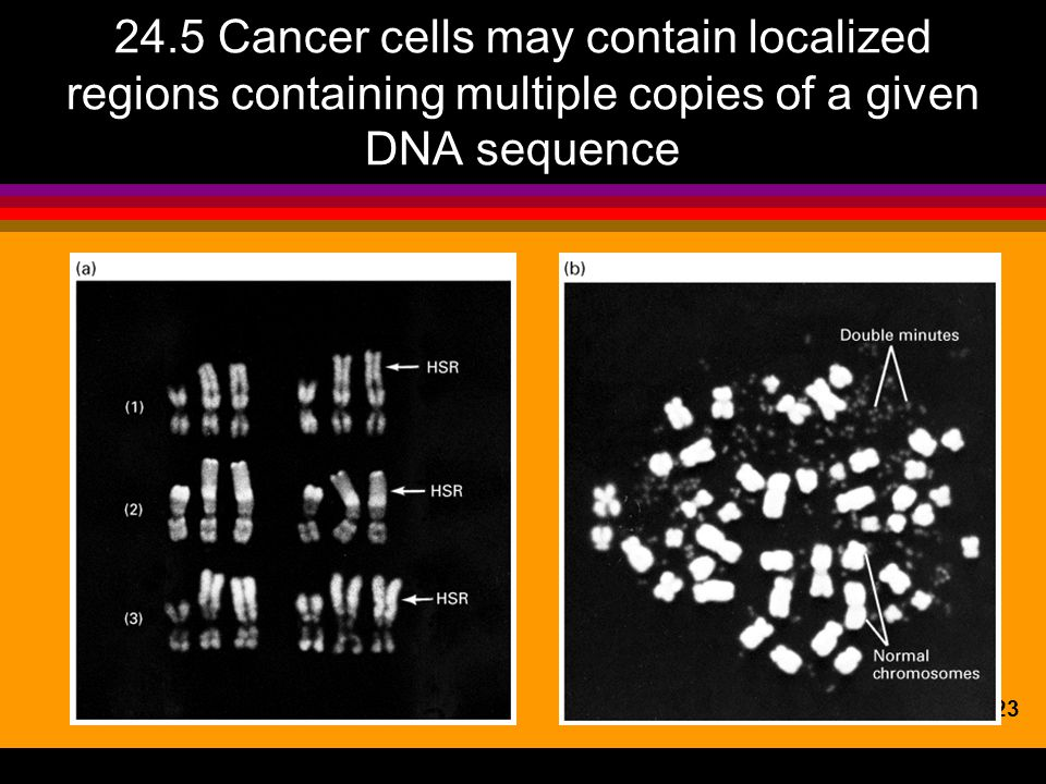 24.5 Cancer cells may contain localized regions containing multiple copies of a given DNA sequence