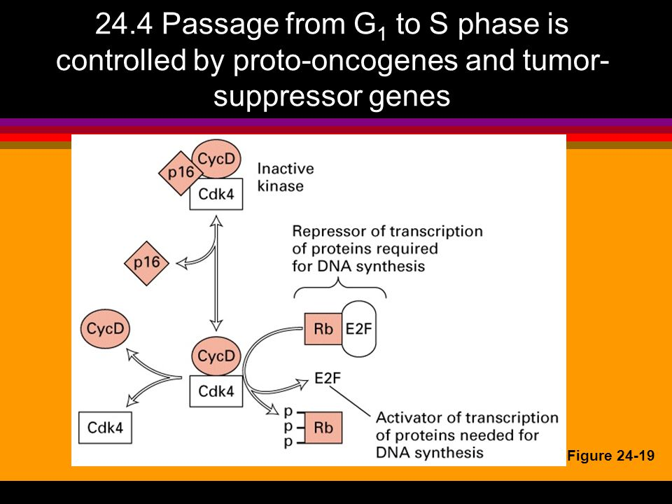 24.4 Passage from G1 to S phase is controlled by proto-oncogenes and tumor-suppressor genes
