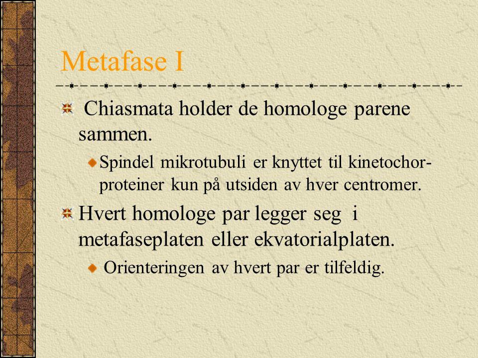 Metafase I Chiasmata holder de homologe parene sammen.