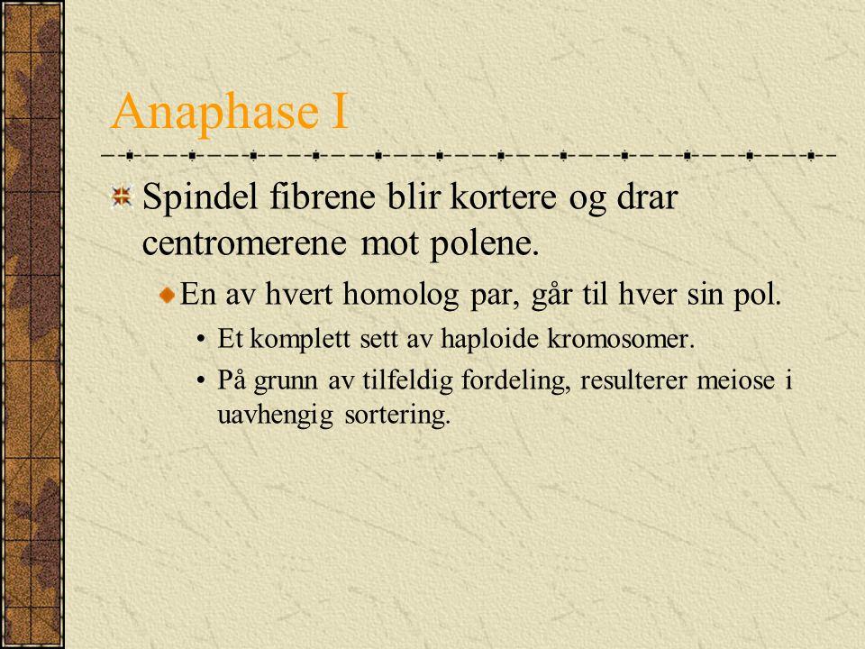 Anaphase I Spindel fibrene blir kortere og drar centromerene mot polene. En av hvert homolog par, går til hver sin pol.