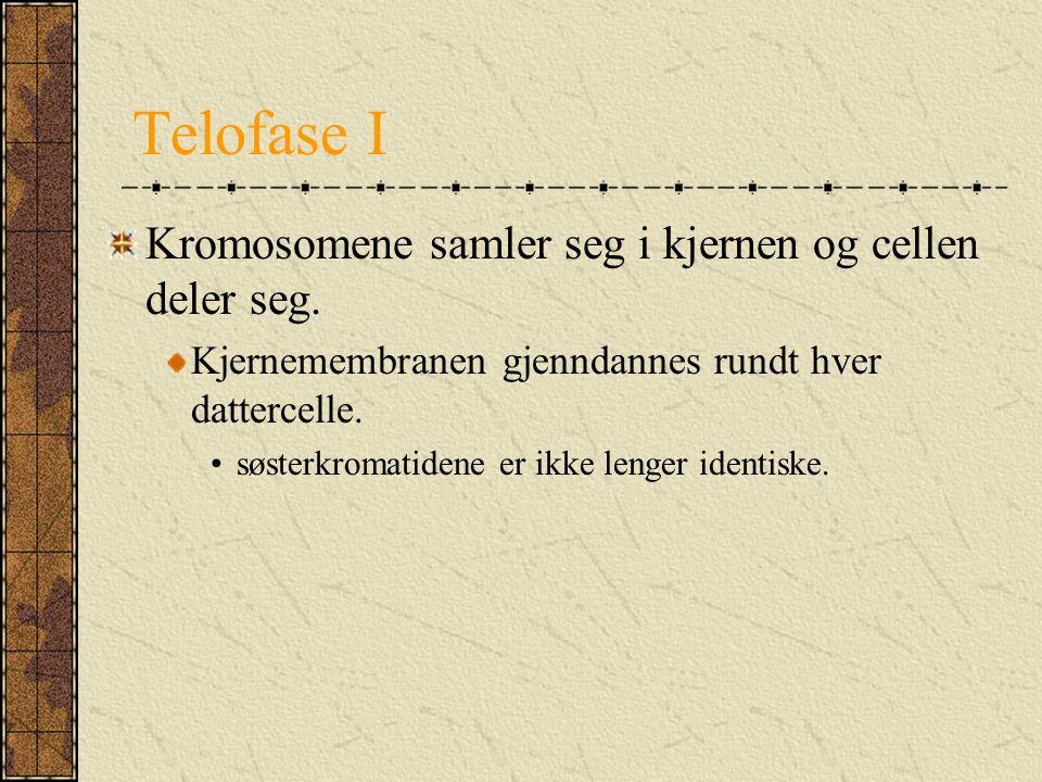 Telofase I Kromosomene samler seg i kjernen og cellen deler seg.