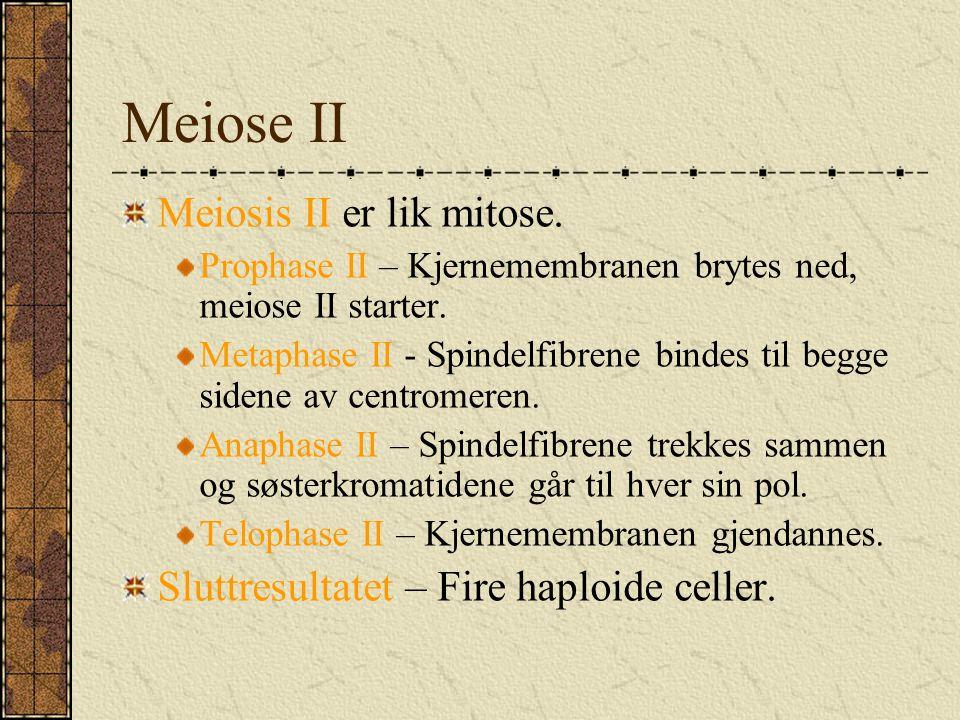 Meiose II Meiosis II er lik mitose.