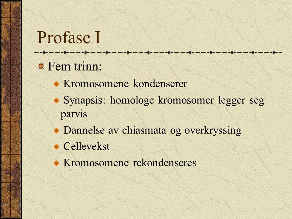Profase I Fem trinn: Kromosomene kondenserer