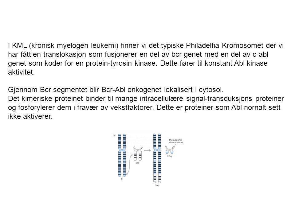 I KML (kronisk myelogen leukemi) finner vi det typiske Philadelfia Kromosomet der vi har fått en translokasjon som fusjonerer en del av bcr genet med en del av c-abl genet som koder for en protein-tyrosin kinase. Dette fører til konstant Abl kinase aktivitet.
