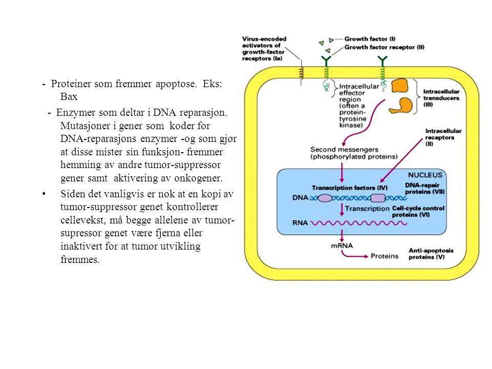 - - Proteiner som fremmer apoptose. Eks: Bax