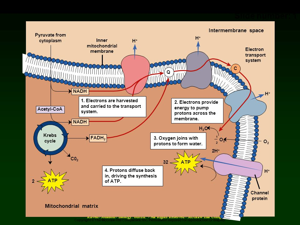 09_18 Overview of ATP Synthesis