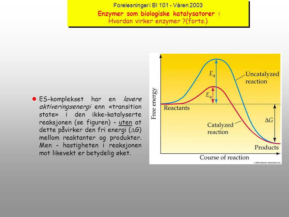 Forelesninger i BI 101 - Våren 2003 Enzymer som biologiske katalysatorer : Hvordan virker enzymer (forts.)
