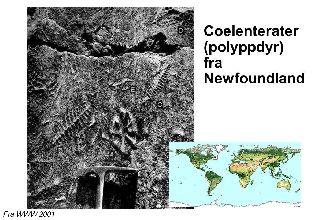 Coelenterater (polyppdyr) fra Newfoundland