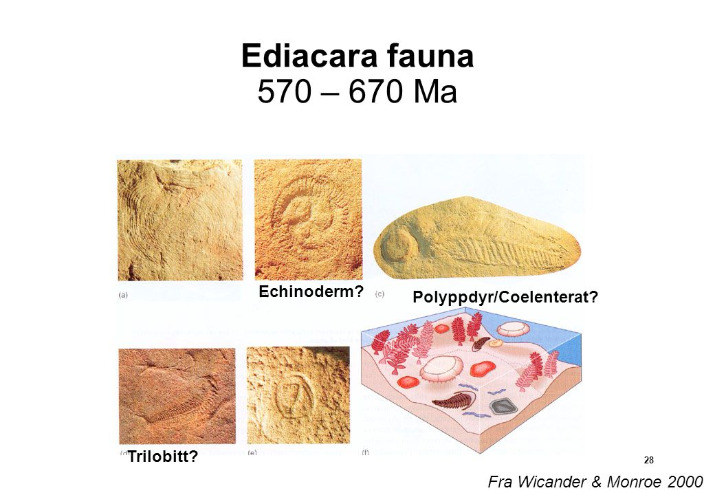 Ediacara fauna 570 – 670 Ma Echinoderm Polyppdyr/Coelenterat