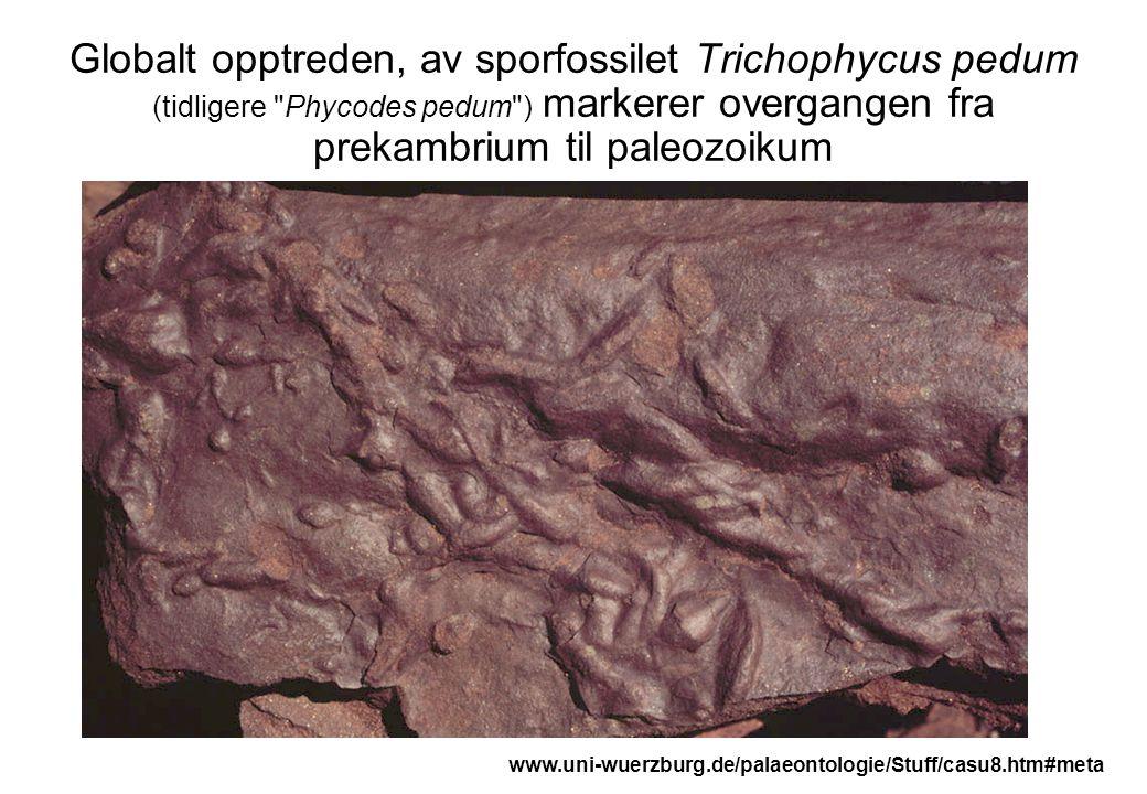 Globalt opptreden, av sporfossilet Trichophycus pedum (tidligere Phycodes pedum ) markerer overgangen fra prekambrium til paleozoikum