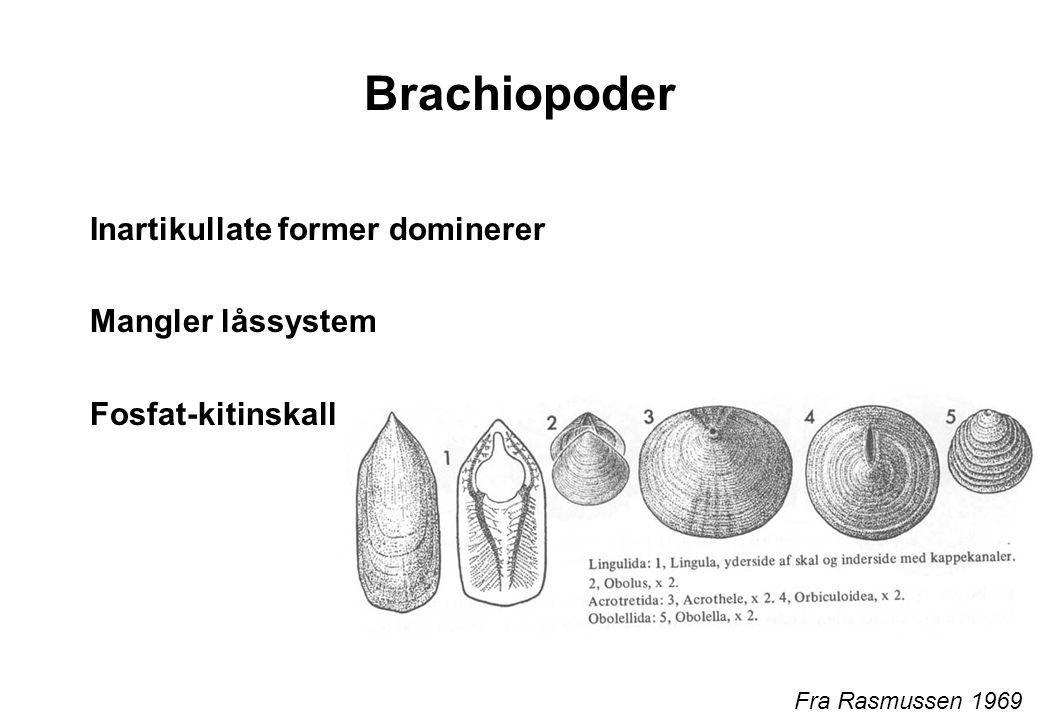 Brachiopoder Inartikullate former dominerer Mangler låssystem