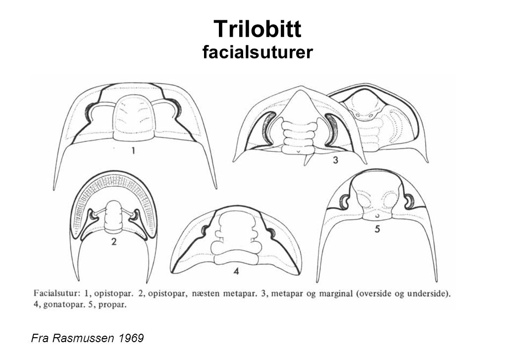 Trilobitt facialsuturer