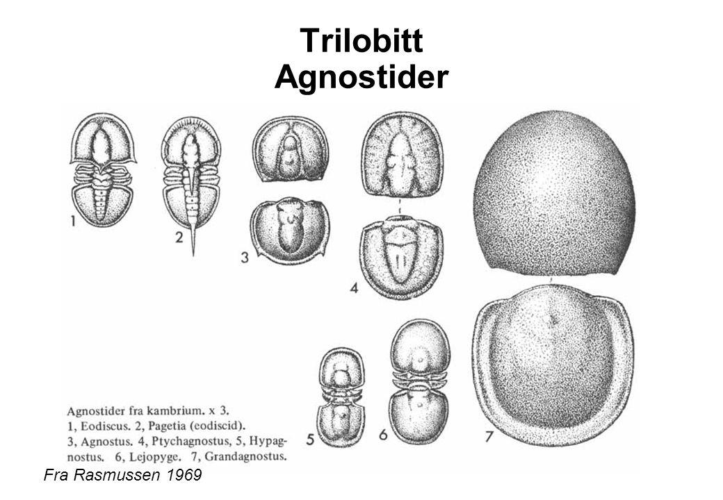 Trilobitt Agnostider Fra Rasmussen 1969